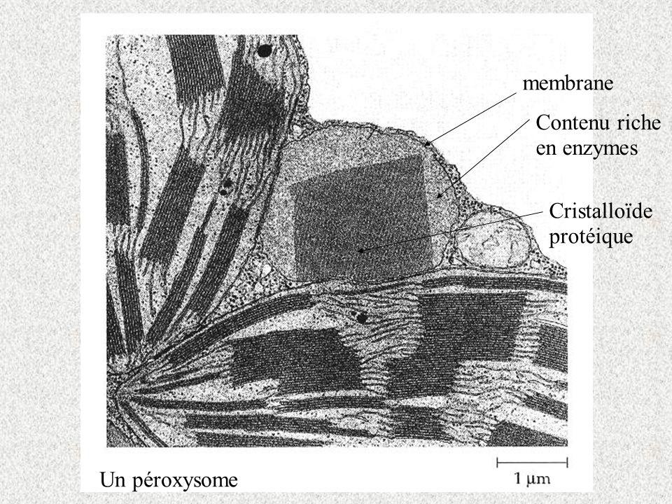membrane Cristalloïde protéique Contenu riche en enzymes Un péroxysome