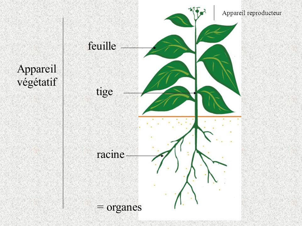 Appareil végétatif Appareil reproducteur feuille tige racine = organes