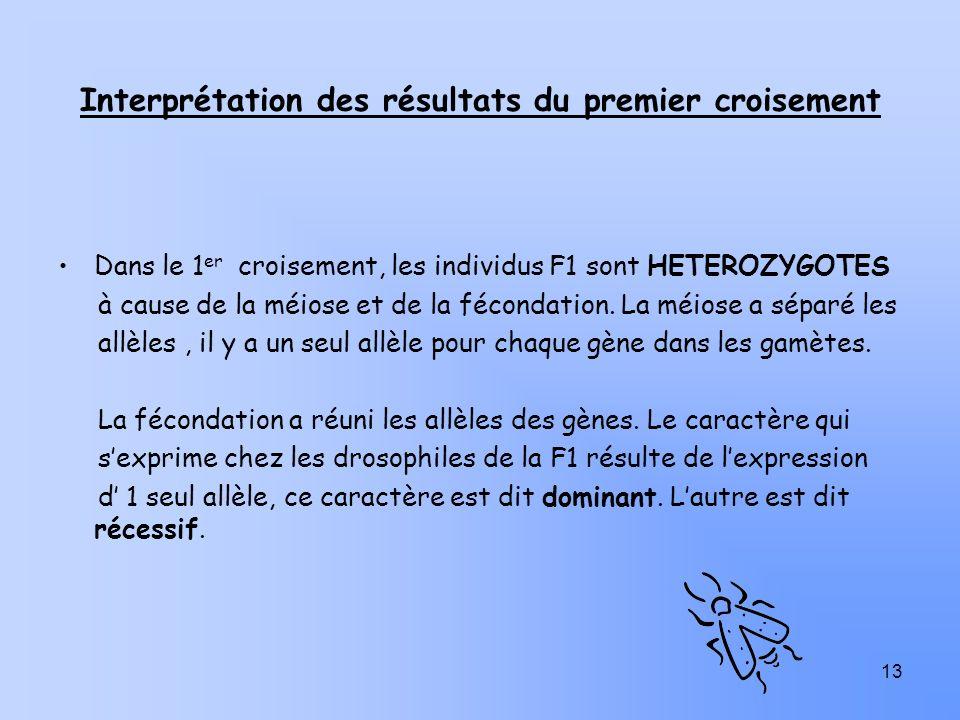 13 Interprétation des résultats du premier croisement Dans le 1 er croisement, les individus F1 sont HETEROZYGOTES à cause de la méiose et de la fécon