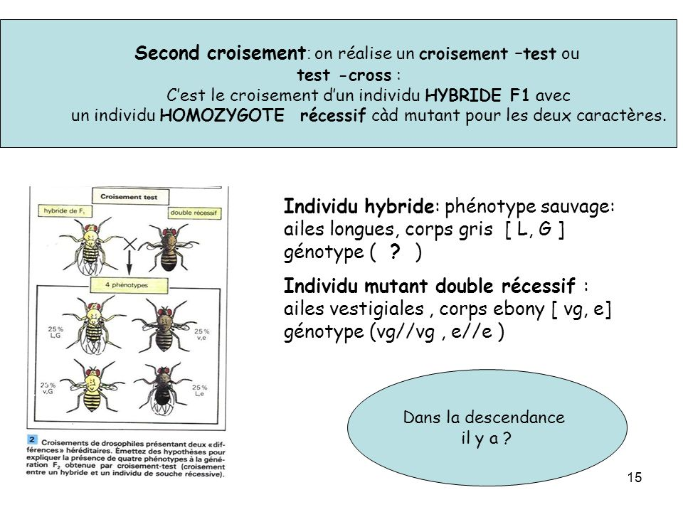 15 Second croisement : on réalise un croisement –test ou test -cross : Cest le croisement dun individu HYBRIDE F1 avec un individu HOMOZYGOTE récessif