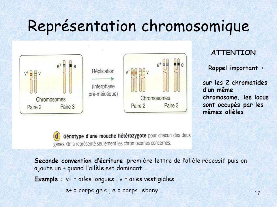 17 Représentation chromosomique Seconde convention décriture :première lettre de lallèle récessif puis on ajoute un + quand lallèle est dominant. Exem