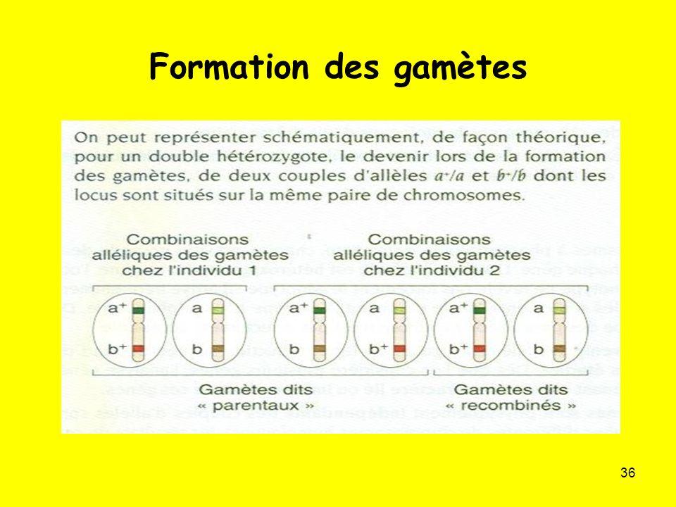 36 Formation des gamètes