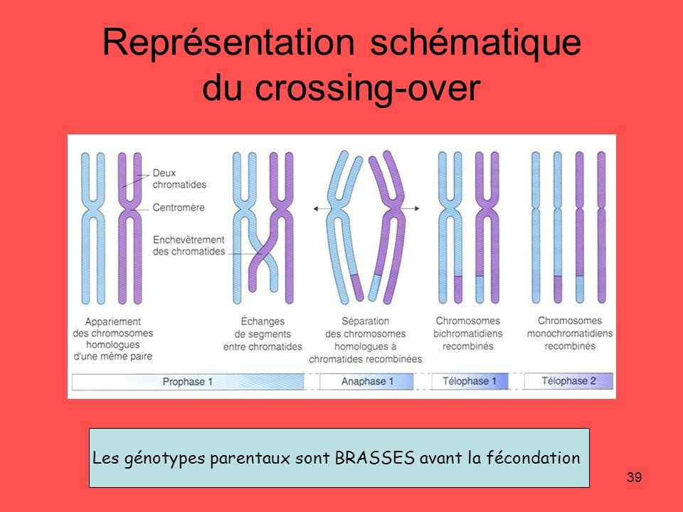 39 Représentation schématique du crossing-over Les génotypes parentaux sont BRASSES avant la fécondation