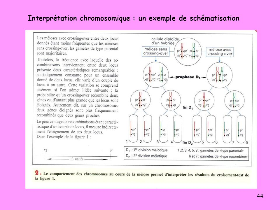 44 Interprétation chromosomique : un exemple de schématisation