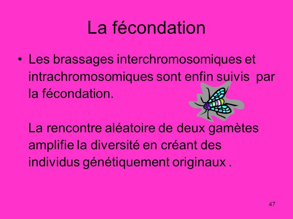 47 La fécondation Les brassages interchromosomiques et intrachromosomiques sont enfin suivis par la fécondation. La rencontre aléatoire de deux gamète