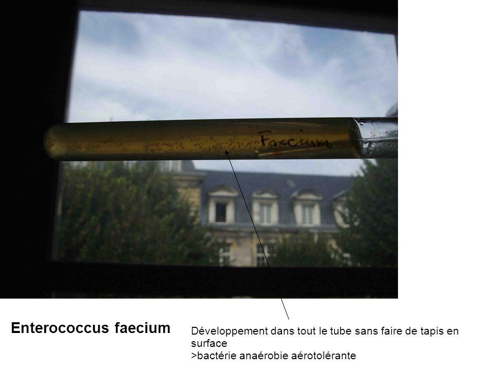 Développement dans tout le tube sans faire de tapis en surface >bactérie anaérobie aérotolérante Enterococcus faecium