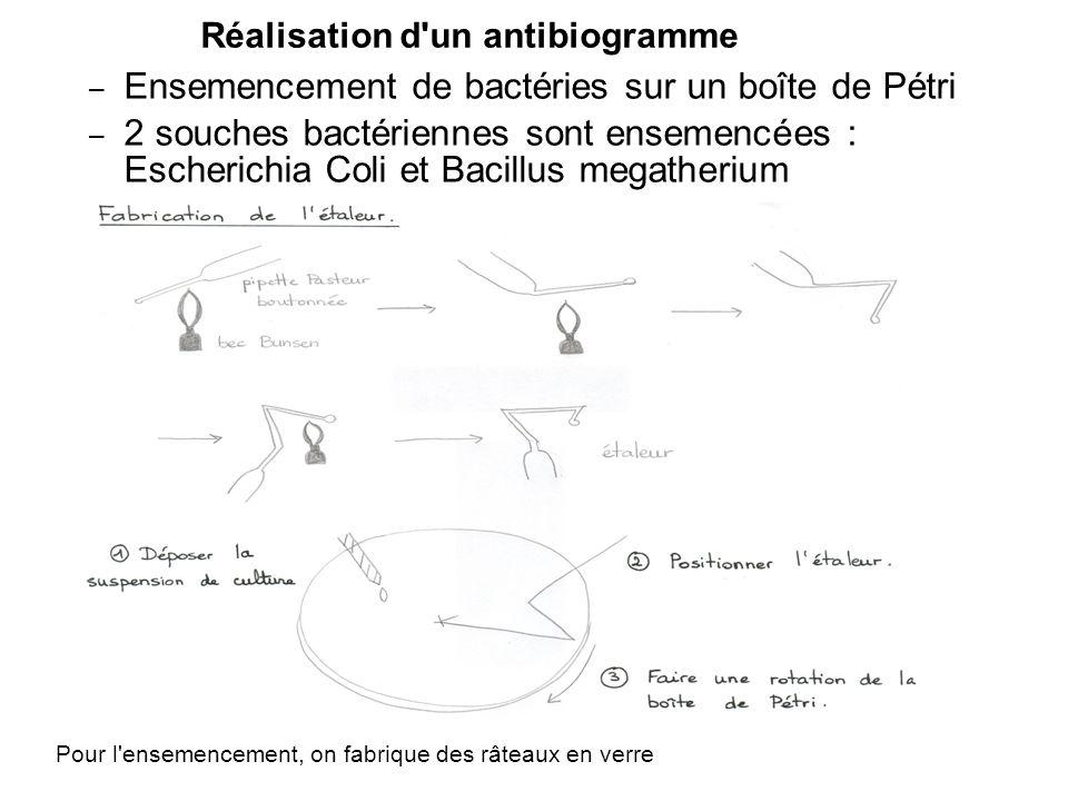 Réalisation d'un antibiogramme – Ensemencement de bactéries sur un boîte de Pétri – 2 souches bactériennes sont ensemencées : Escherichia Coli et Baci