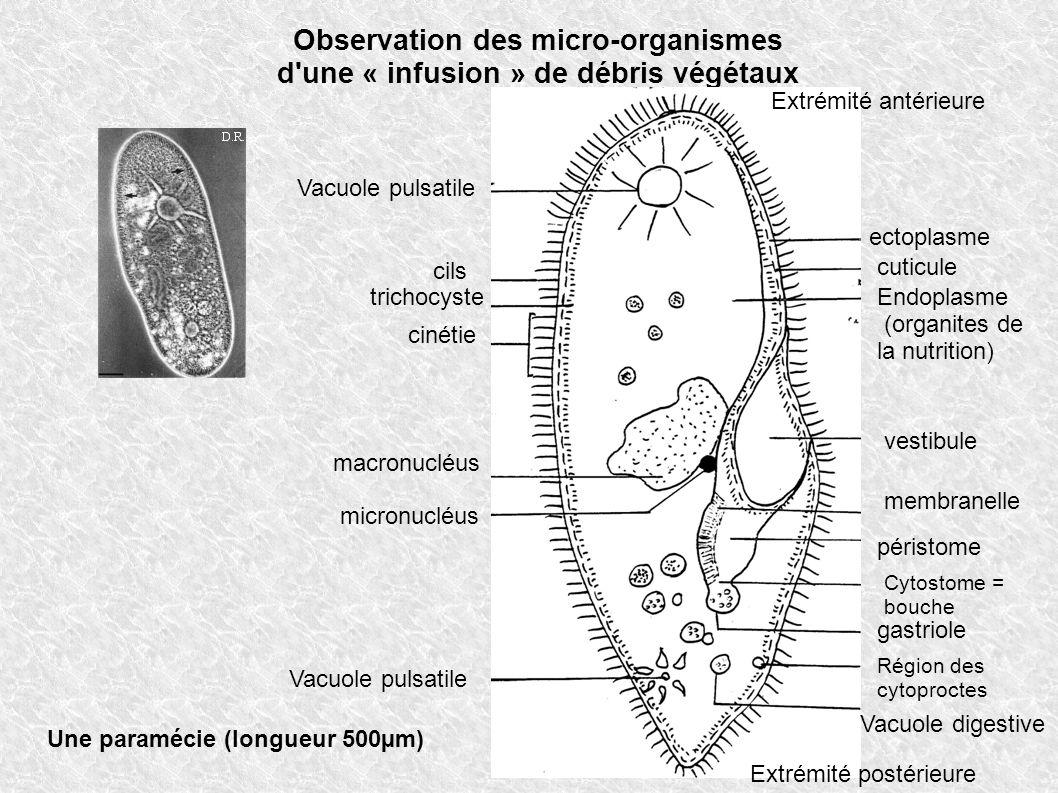 Observation des micro-organismes d'une « infusion » de débris végétaux Une paramécie (longueur 500µm) Extrémité antérieure Extrémité postérieure Vacuo