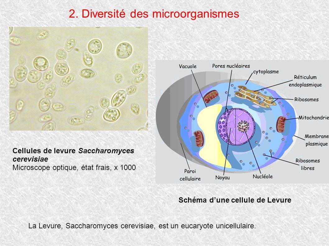 2. Diversité des microorganismes Cellules de levure Saccharomyces cerevisiae Microscope optique, état frais, x 1000 Schéma dune cellule de Levure La L