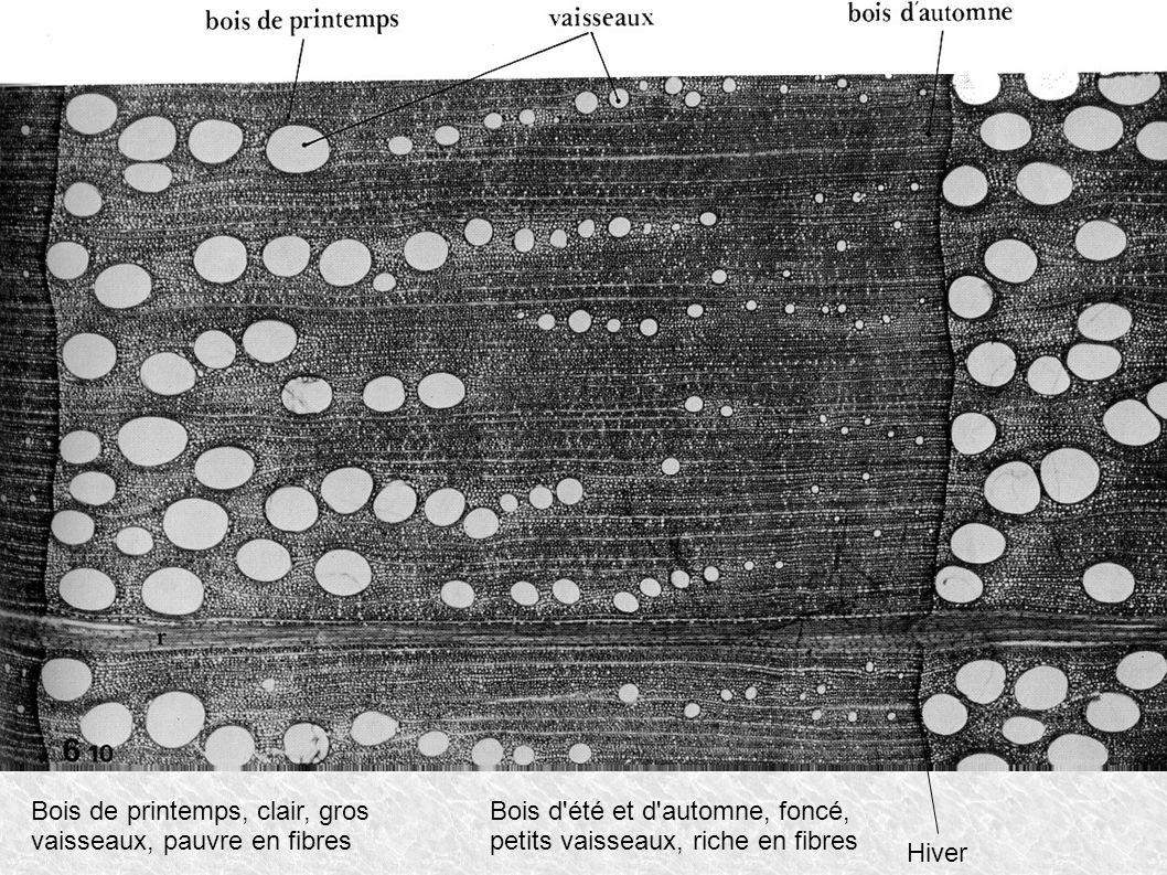 Bois de printemps, clair, gros vaisseaux, pauvre en fibres Bois d'été et d'automne, foncé, petits vaisseaux, riche en fibres Hiver
