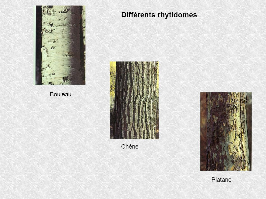 Différents rhytidomes Bouleau Chêne Platane