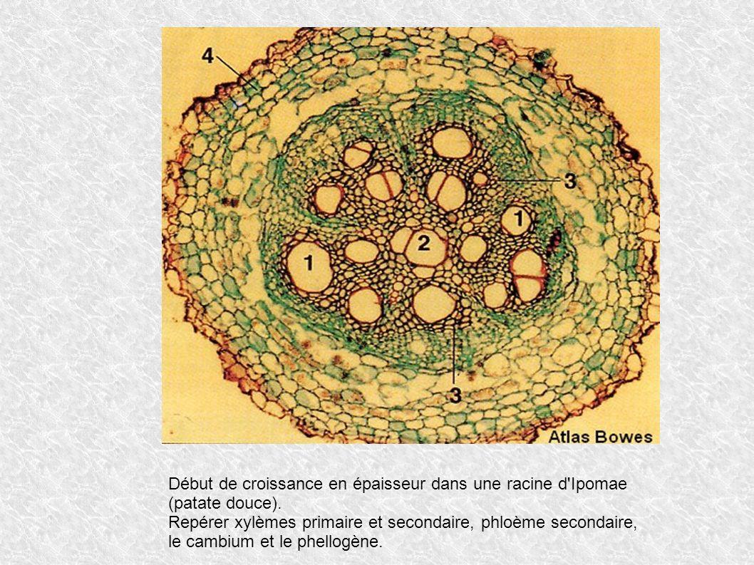 Début de croissance en épaisseur dans une racine d'Ipomae (patate douce). Repérer xylèmes primaire et secondaire, phloème secondaire, le cambium et le