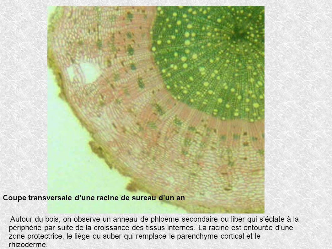 Autour du bois, on observe un anneau de phloème secondaire ou liber qui s'éclate à la périphérie par suite de la croissance des tissus internes. La ra