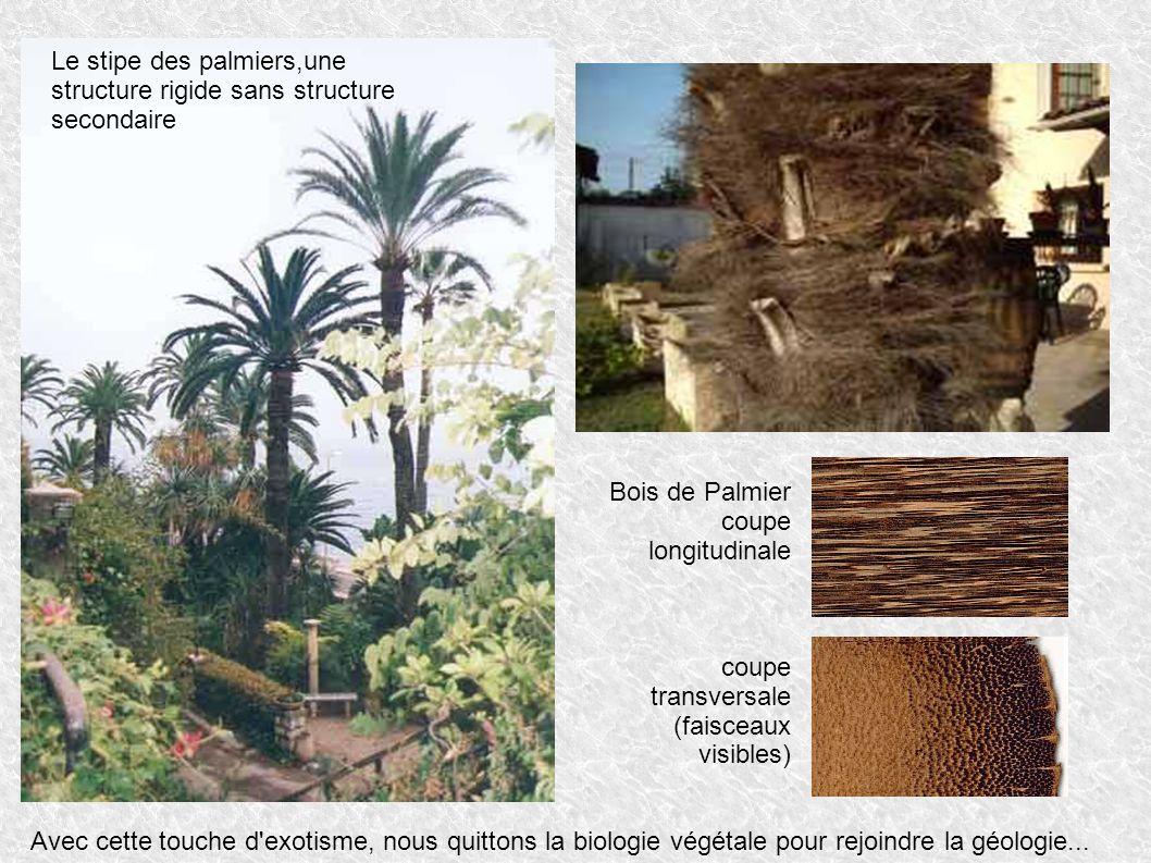Le stipe des palmiers,une structure rigide sans structure secondaire Avec cette touche d'exotisme, nous quittons la biologie végétale pour rejoindre l