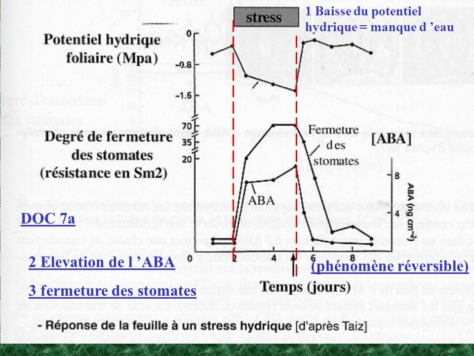 DOC 7a 1 Baisse du potentiel hydrique = manque d eau (phénomène réversible) 2 Elevation de l ABA 3 fermeture des stomates