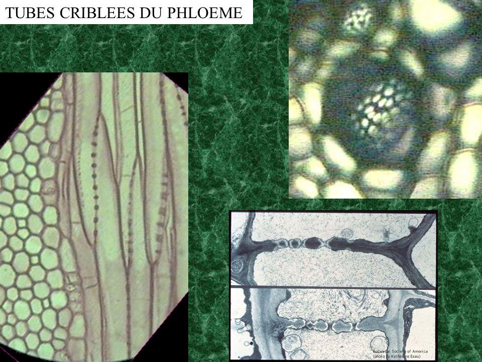 TUBES CRIBLEES DU PHLOEME