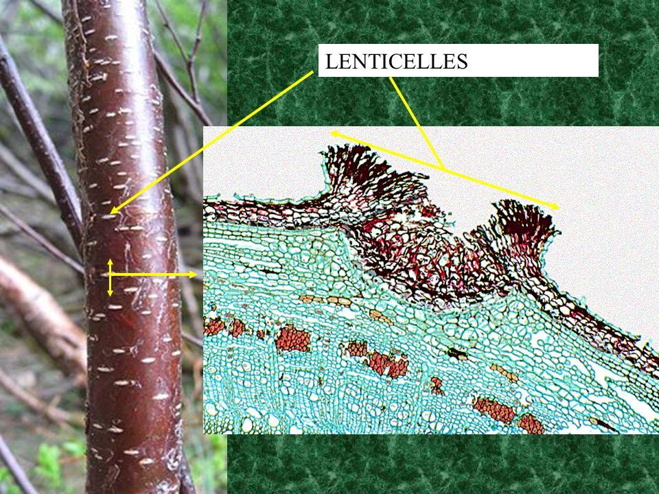 LENTICELLES
