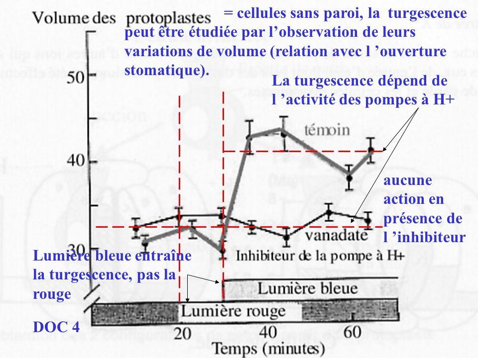 = cellules sans paroi, la turgescence peut être étudiée par lobservation de leurs variations de volume (relation avec l ouverture stomatique). Lumière