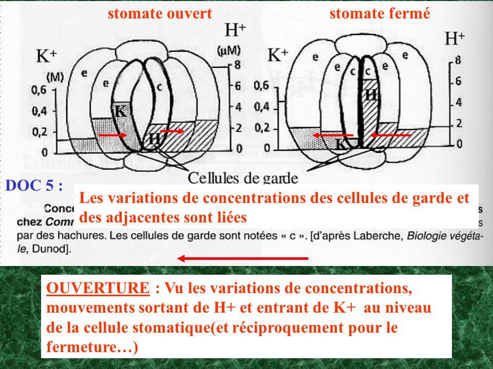 DOC 5 : stomate ferméstomate ouvert OUVERTURE : Vu les variations de concentrations, mouvements sortant de H+ et entrant de K+ au niveau de la cellule