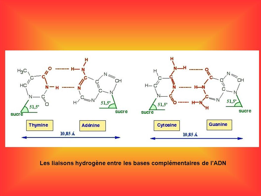 Les liaisons hydrogène entre les bases complémentaires de l'ADN