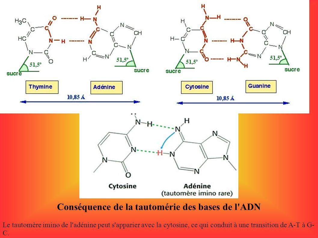 Conséquence de la tautomérie des bases de l'ADN Le tautomère imino de l'adénine peut s'apparier avec la cytosine, ce qui conduit à une transition de A