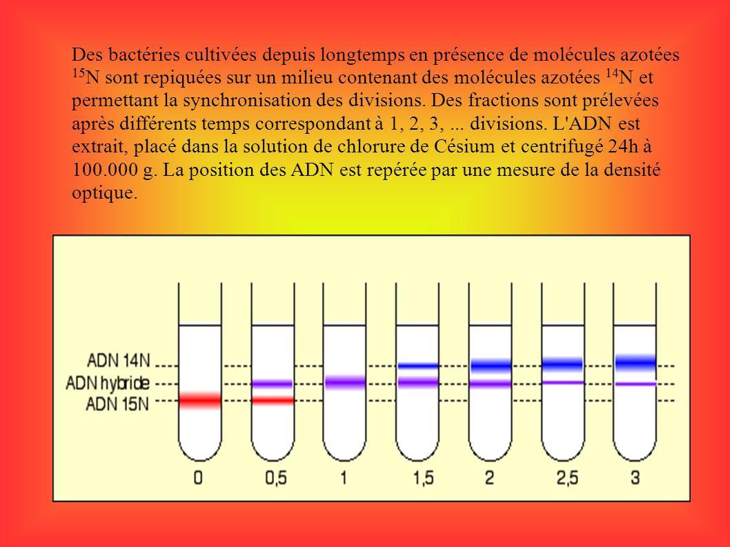 Des bactéries cultivées depuis longtemps en présence de molécules azotées 15 N sont repiquées sur un milieu contenant des molécules azotées 14 N et pe