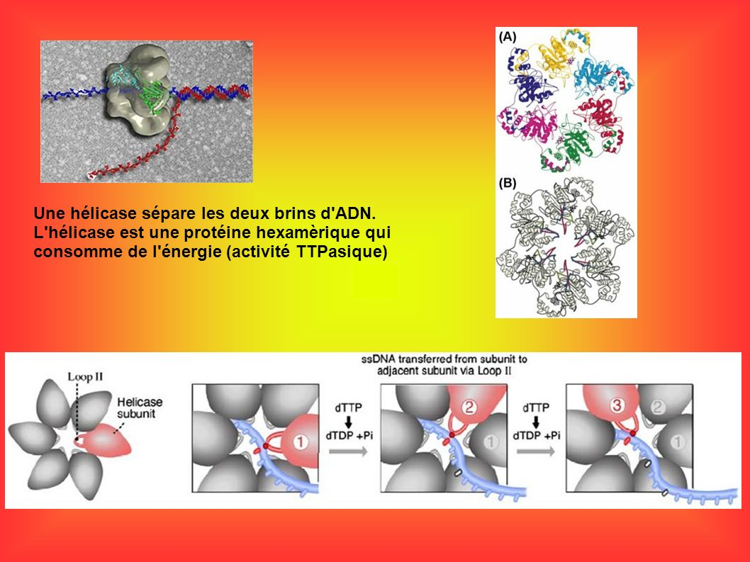 Une hélicase sépare les deux brins d'ADN. L'hélicase est une protéine hexamèrique qui consomme de l'énergie (activité TTPasique)