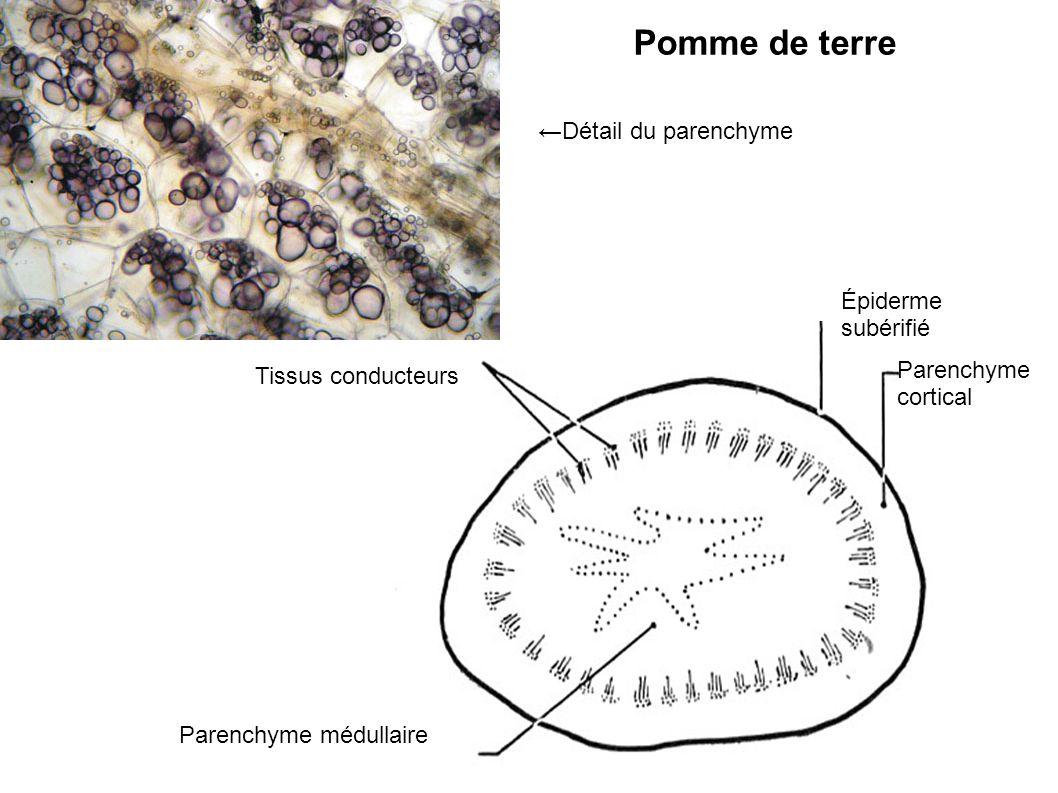 Pomme de terre Épiderme subérifié Parenchyme cortical Parenchyme médullaire Tissus conducteurs Détail du parenchyme