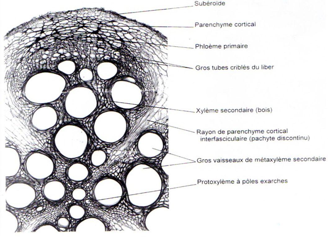 Coupe transversale de limbe de feuille de Laurier (zone de la nervure principale)