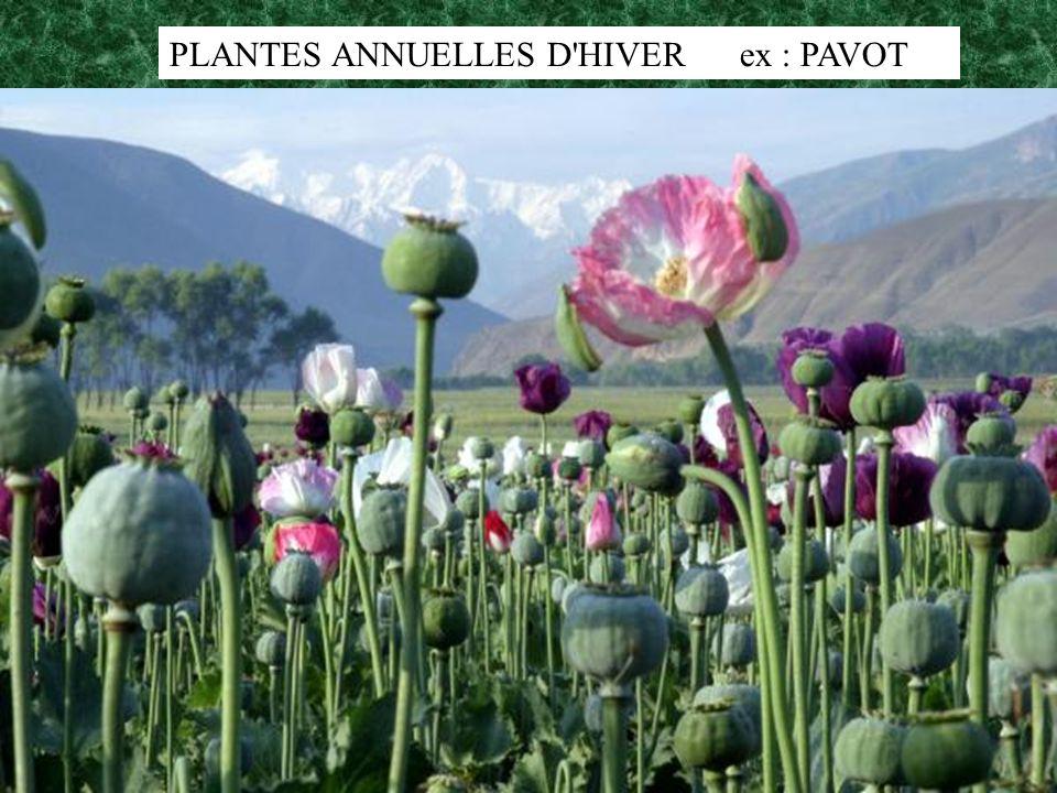 PLANTES ANNUELLES D'HIVER ex : PAVOT