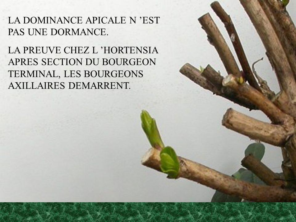 LA DOMINANCE APICALE N EST PAS UNE DORMANCE. LA PREUVE CHEZ L HORTENSIA APRES SECTION DU BOURGEON TERMINAL, LES BOURGEONS AXILLAIRES DEMARRENT.
