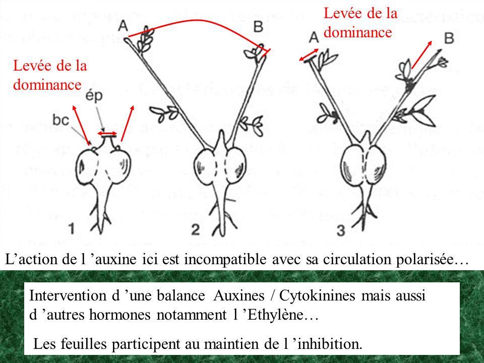 Levée de la dominance Laction de l auxine ici est incompatible avec sa circulation polarisée… Intervention d une balance Auxines / Cytokinines mais au