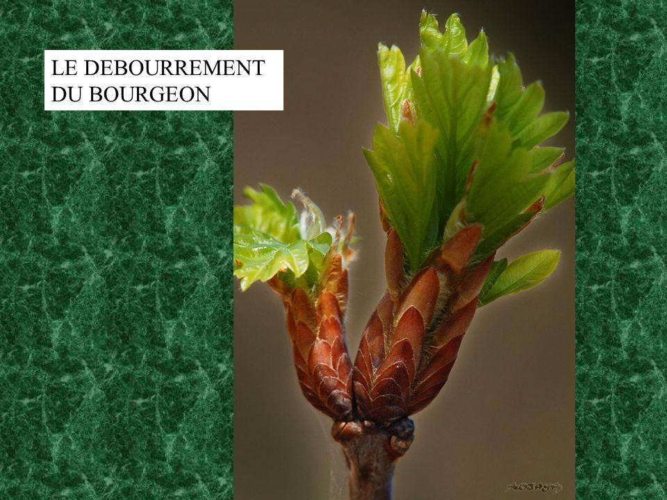 LE DEBOURREMENT DU BOURGEON