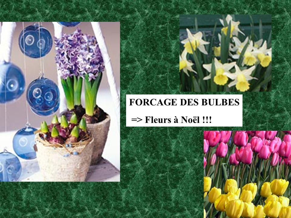FORCAGE DES BULBES => Fleurs à Noël !!!