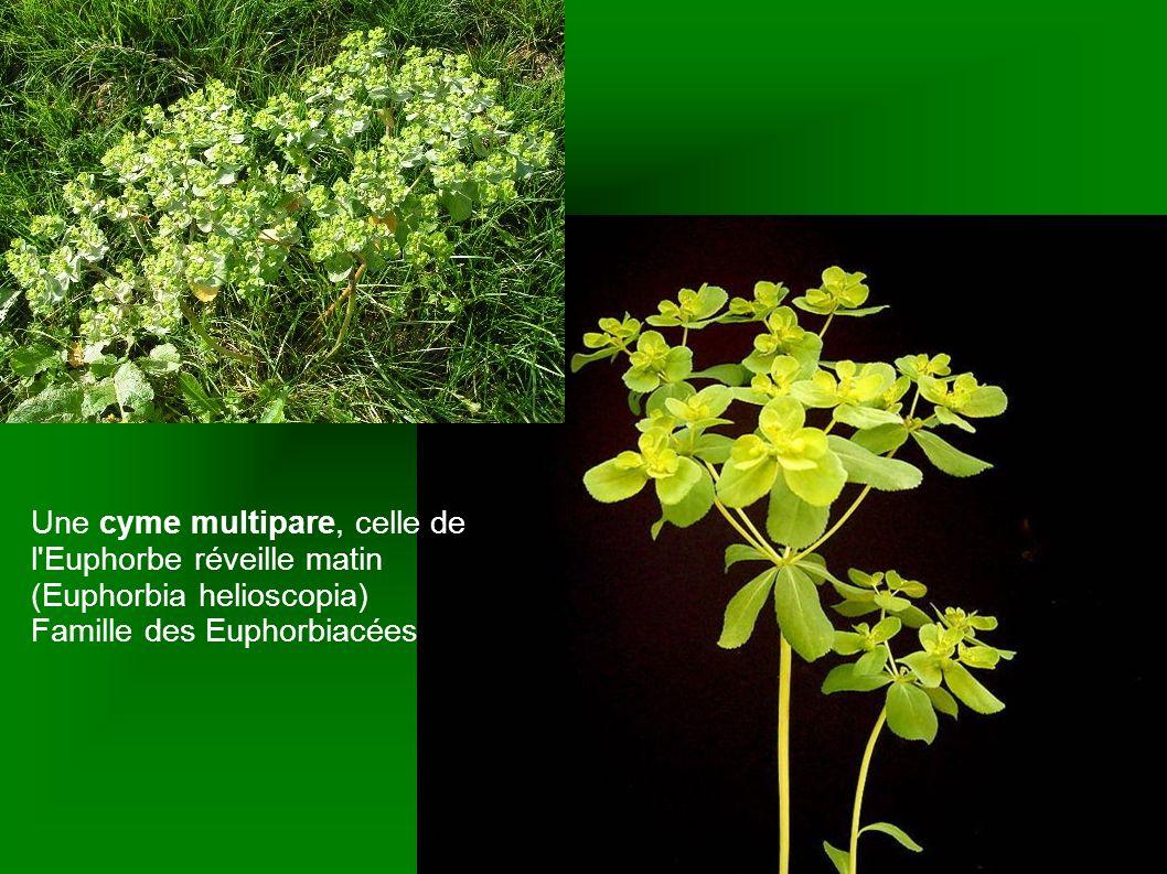 Une cyme multipare, celle de l'Euphorbe réveille matin (Euphorbia helioscopia) Famille des Euphorbiacées