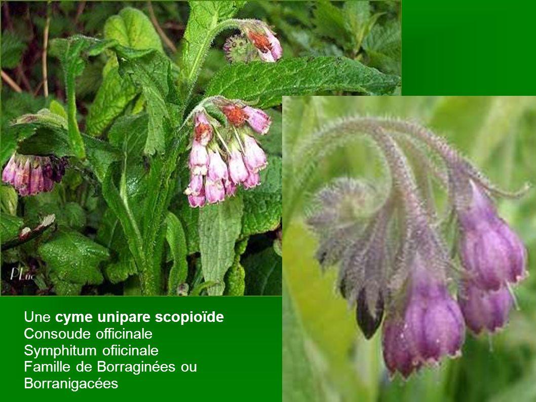 Une cyme unipare scopioïde Consoude officinale Symphitum ofiicinale Famille de Borraginées ou Borranigacées