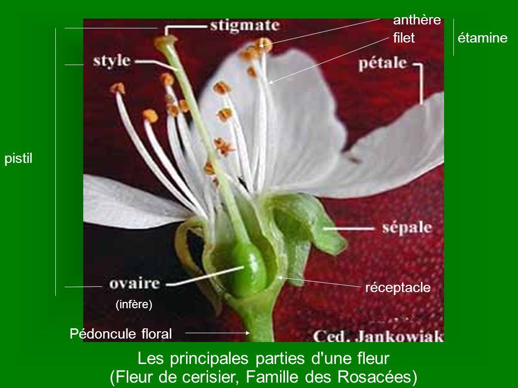 Les principales parties d'une fleur (Fleur de cerisier, Famille des Rosacées) anthère filetétamine pistil (infère) réceptacle Pédoncule floral