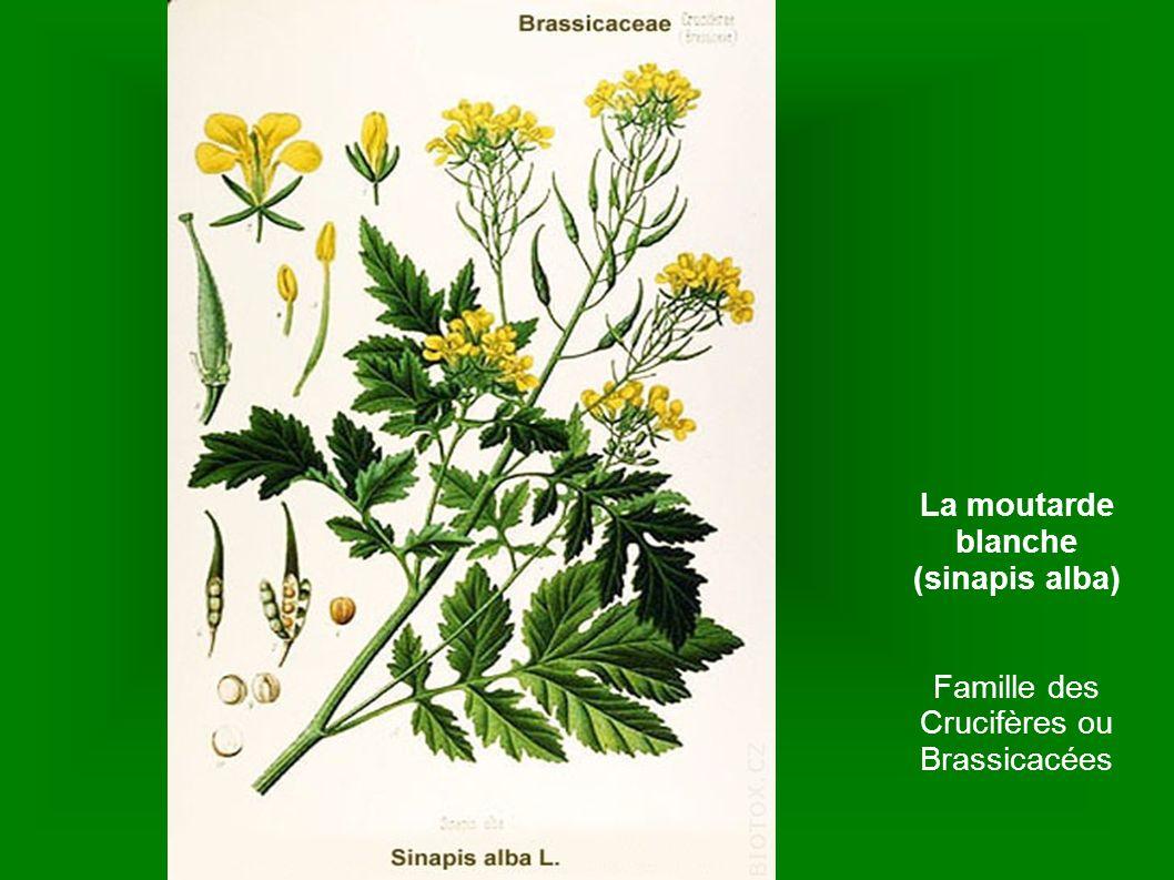 La moutarde blanche (sinapis alba) Famille des Crucifères ou Brassicacées