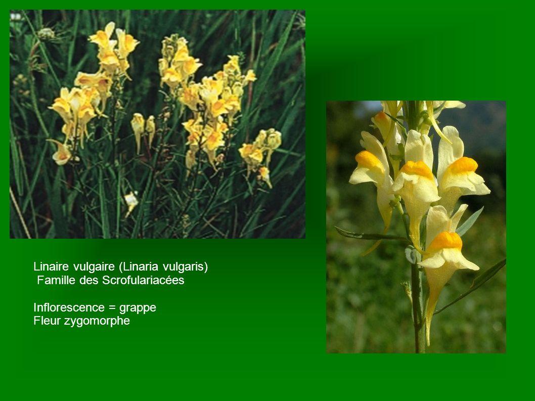 Linaire vulgaire (Linaria vulgaris) Famille des Scrofulariacées Inflorescence = grappe Fleur zygomorphe