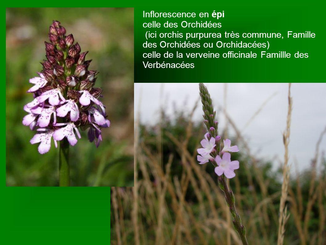 Inflorescence en épi celle des Orchidées (ici orchis purpurea très commune, Famille des Orchidées ou Orchidacées) celle de la verveine officinale Fami