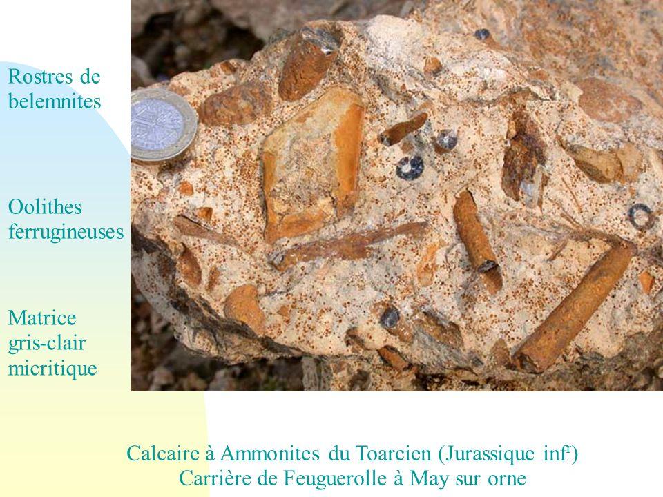 Calcaire à Ammonites du Toarcien (Jurassique inf r ) Carrière de Feuguerolle à May sur orne Rostres de belemnites Oolithes ferrugineuses Matrice gris-clair micritique