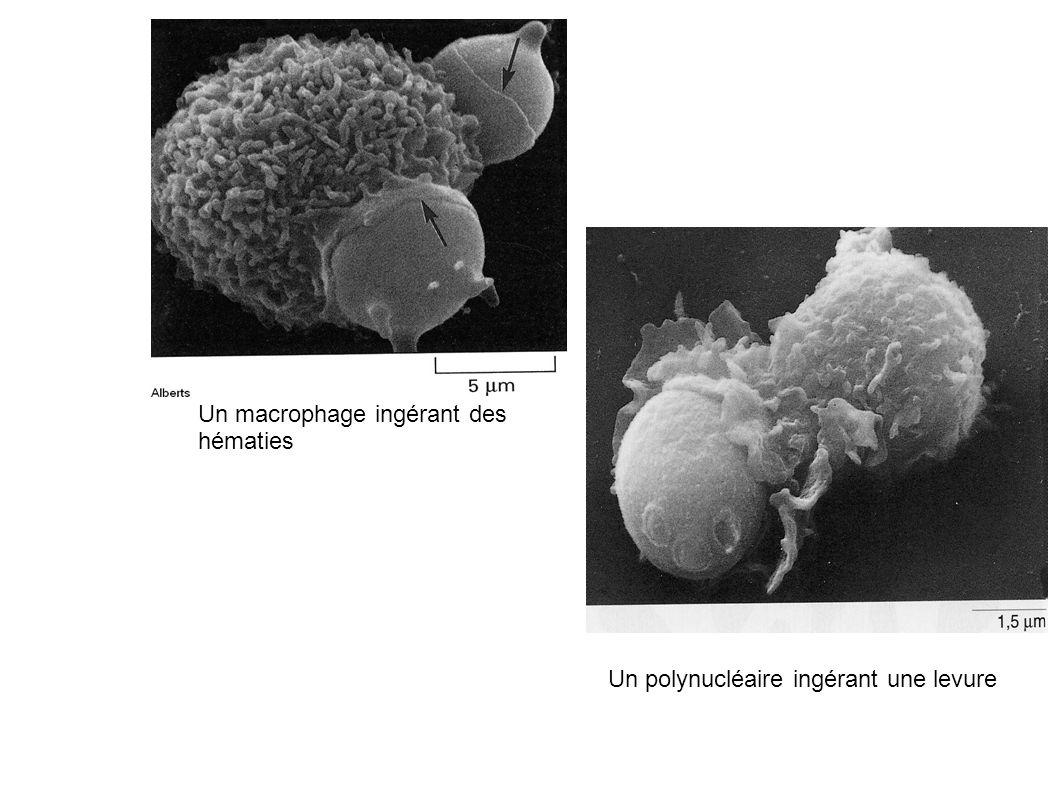 Un macrophage ingérant des hématies Un polynucléaire ingérant une levure