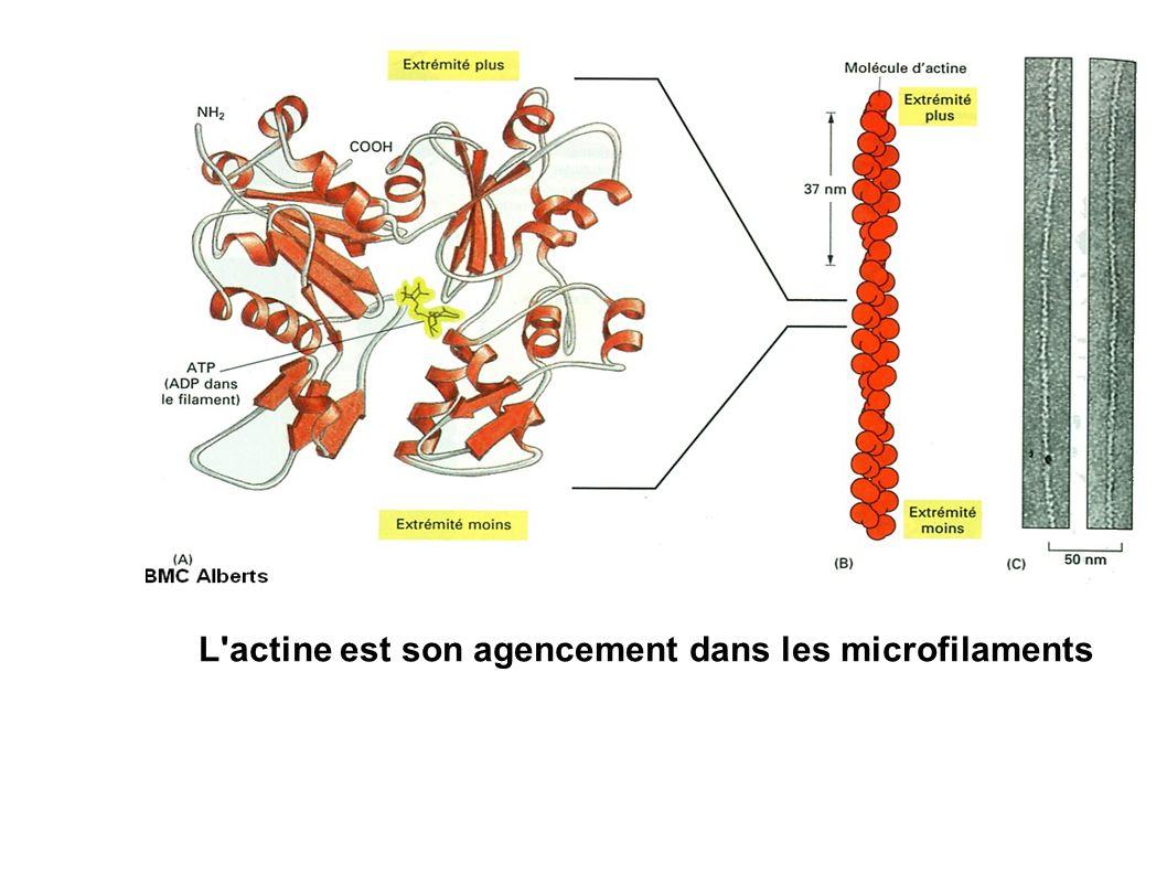 L'actine est son agencement dans les microfilaments
