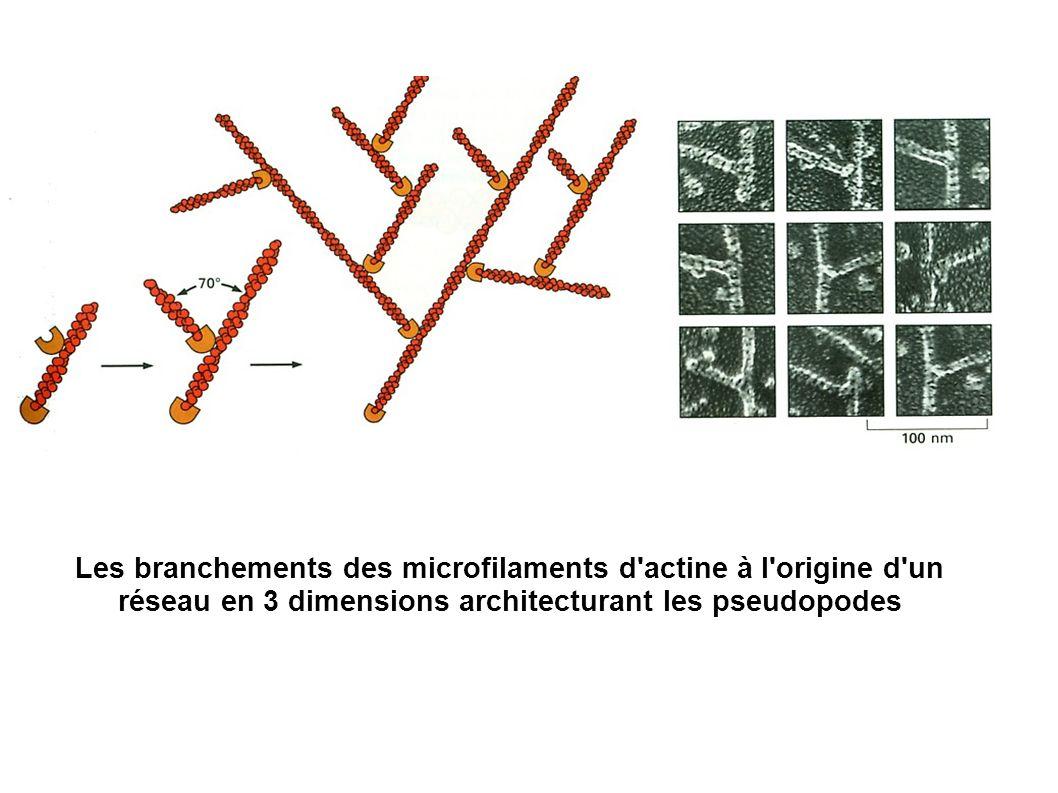 Les branchements des microfilaments d'actine à l'origine d'un réseau en 3 dimensions architecturant les pseudopodes