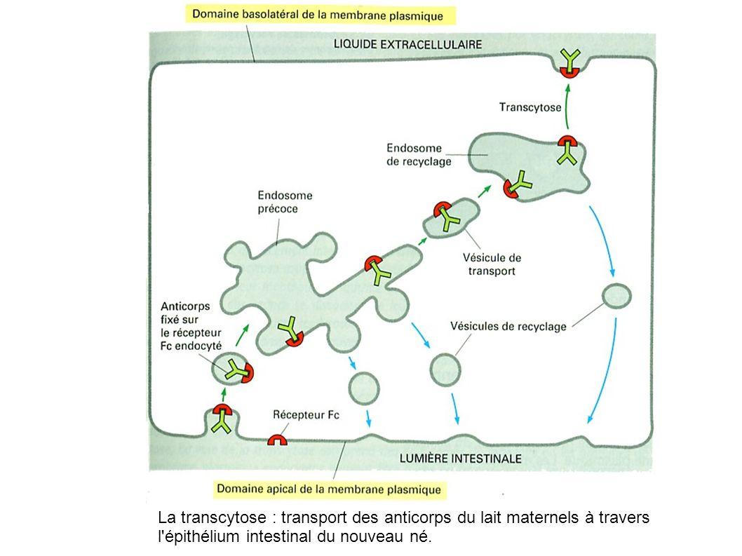 La transcytose : transport des anticorps du lait maternels à travers l'épithélium intestinal du nouveau né.