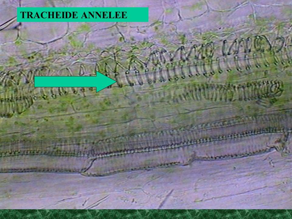 TRACHEIDE ANNELEE