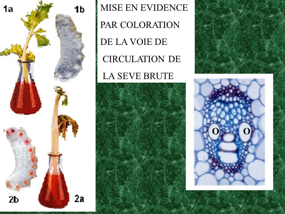 MISE EN EVIDENCE PAR COLORATION DE LA VOIE DE CIRCULATION DE LA SEVE BRUTE O