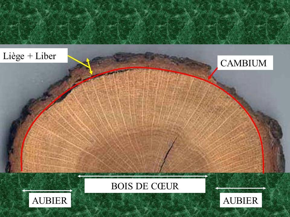 BOIS DE CŒUR AUBIER CAMBIUM Liège + Liber