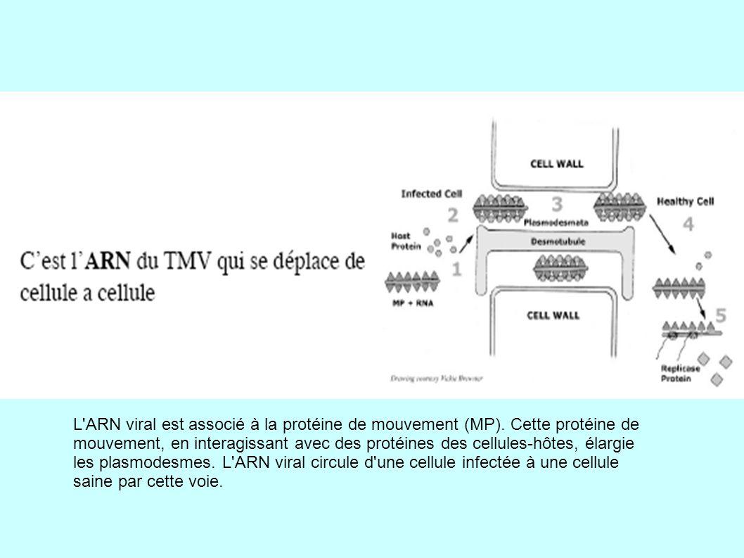 L ARN viral est associé à la protéine de mouvement (MP).