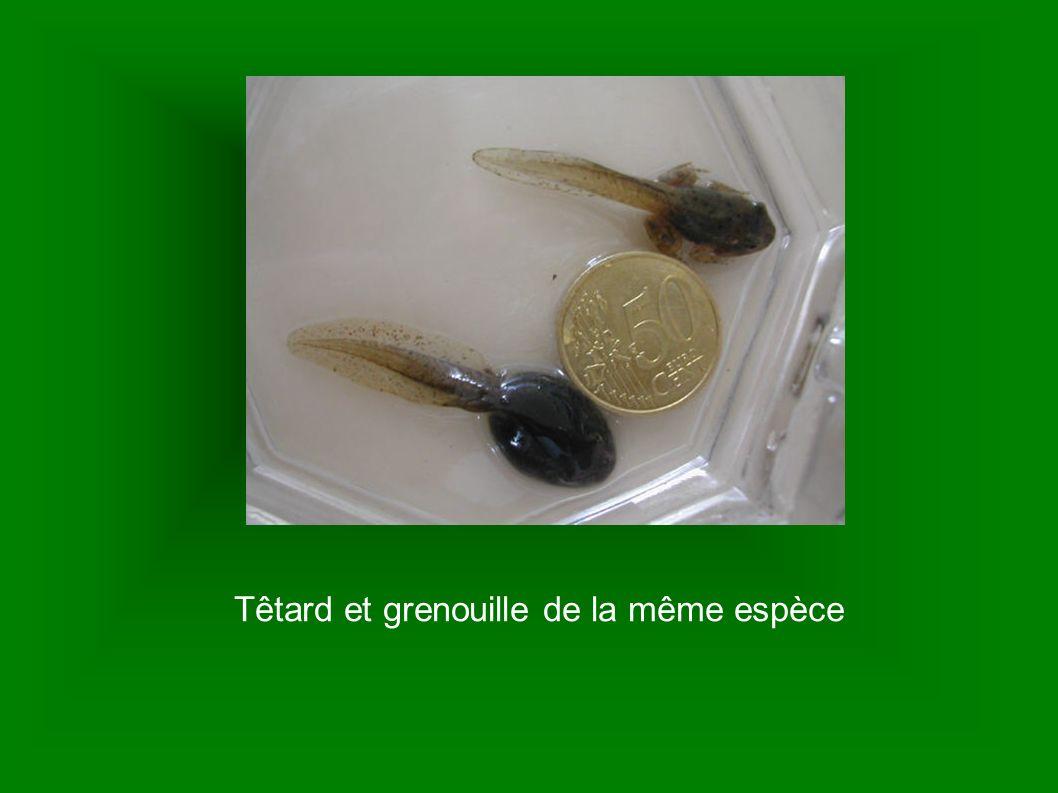 Têtard et grenouille de la même espèce
